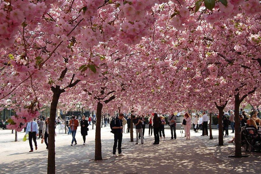 ruas decoradas com árvores de cerejeira