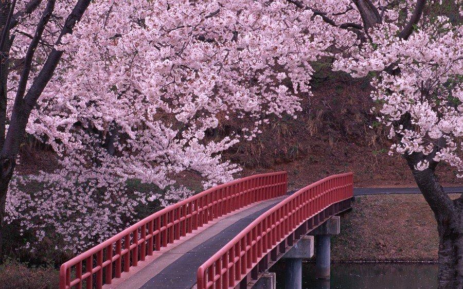 parque com cerejeiras
