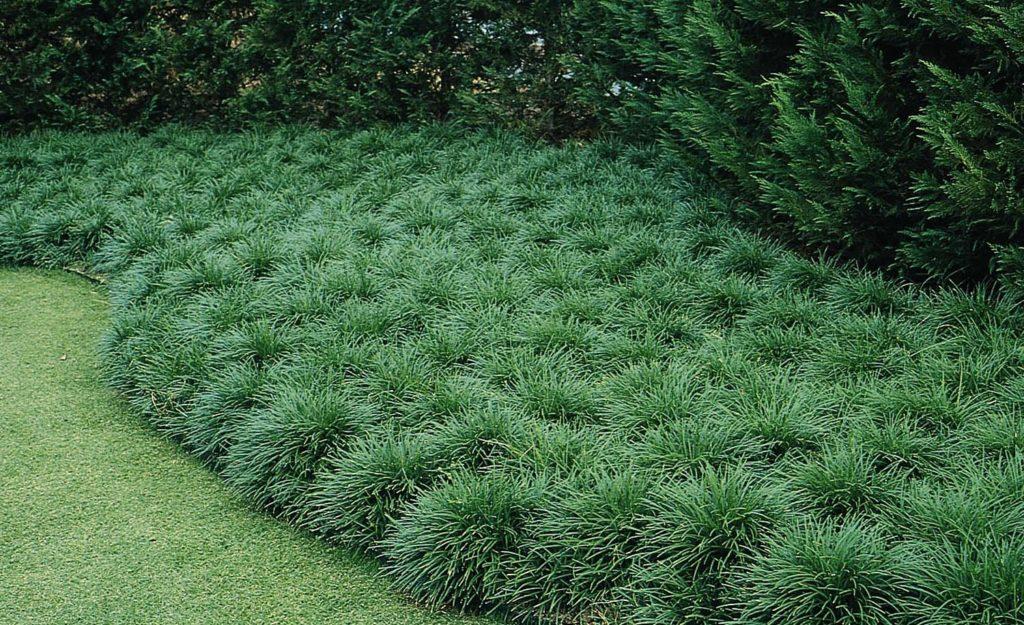 tipo de grama