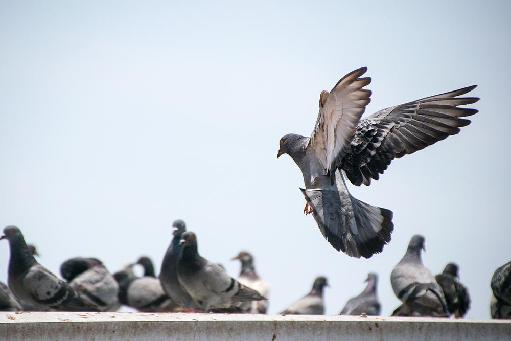 para que serve naftalina: afastar pombos