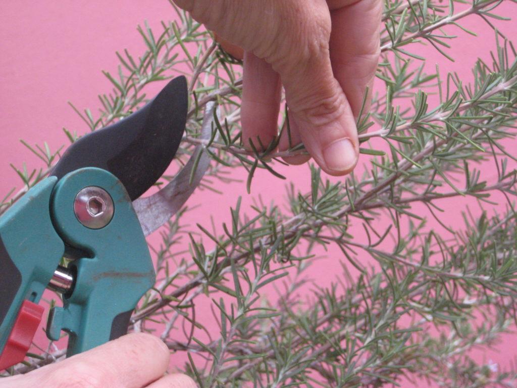 cortando galhos de alecrim