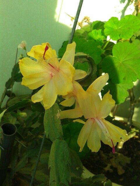 flor de maio amarela
