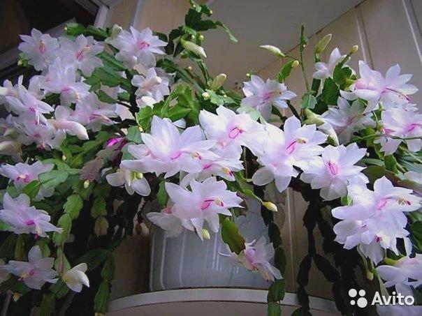 flores brancas no vaso