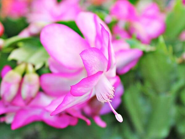 flor de maio roxa