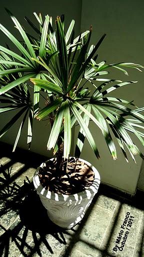 vaso com palmeira ráfia