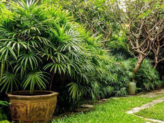 palmeira ráfia no quintal
