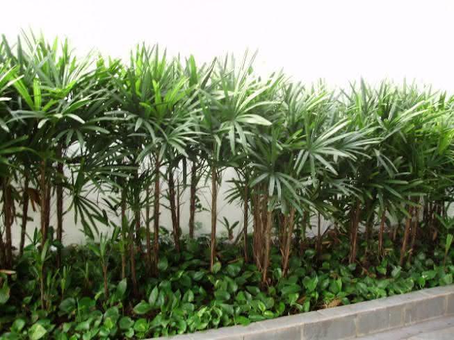 palmeira ráfia no canteiro